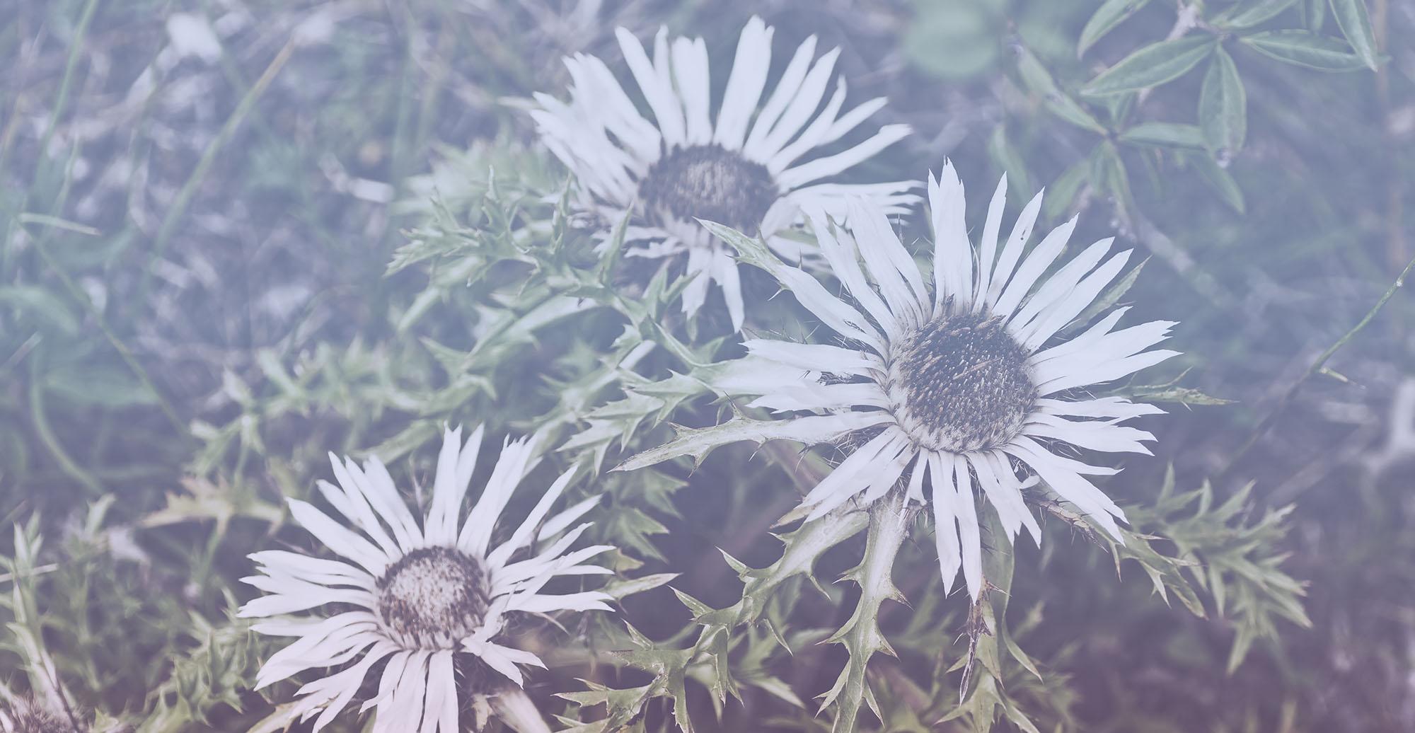 silberdistel blumen pflanzen gartengestaltung treuchtlingen